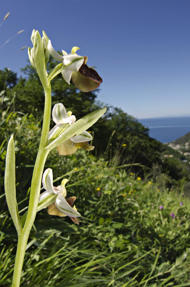Ophrys exaltata in its habitat