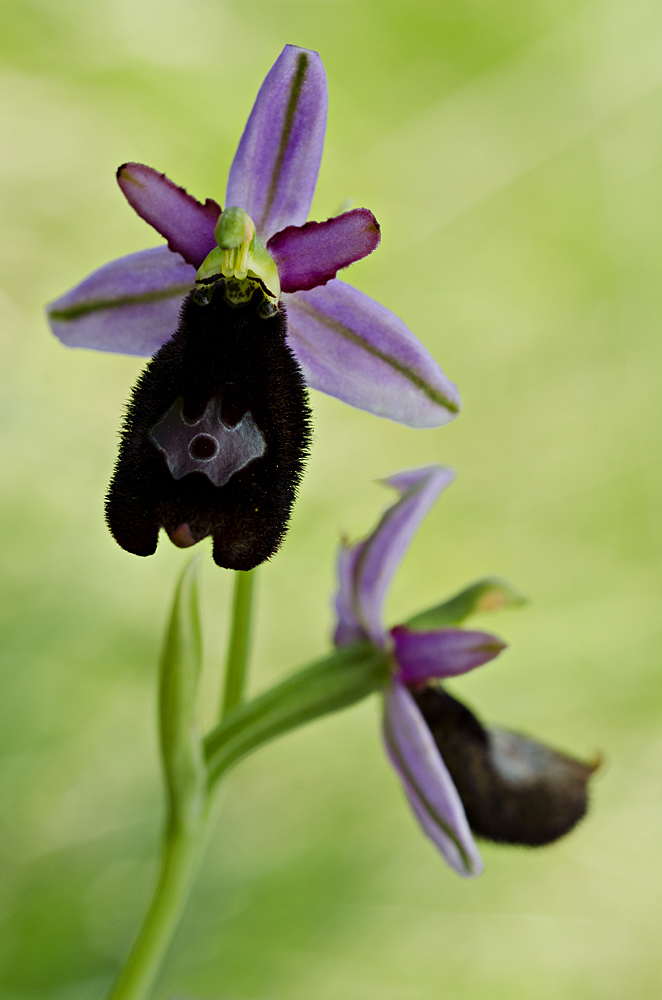 Bertoloni's Bee Orchid (Ophrys bertolonii)