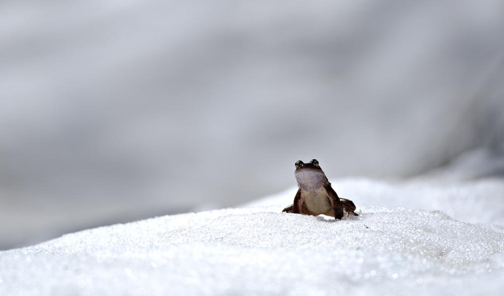 European common frog (Rana temporaria)