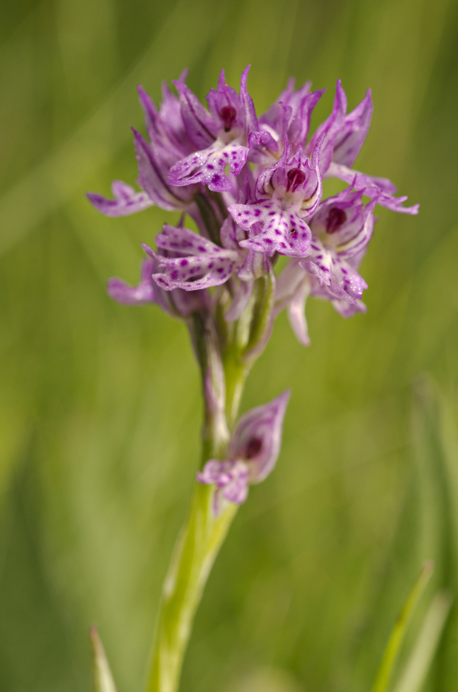Three-toothed orchid (Neotinea tridentata)