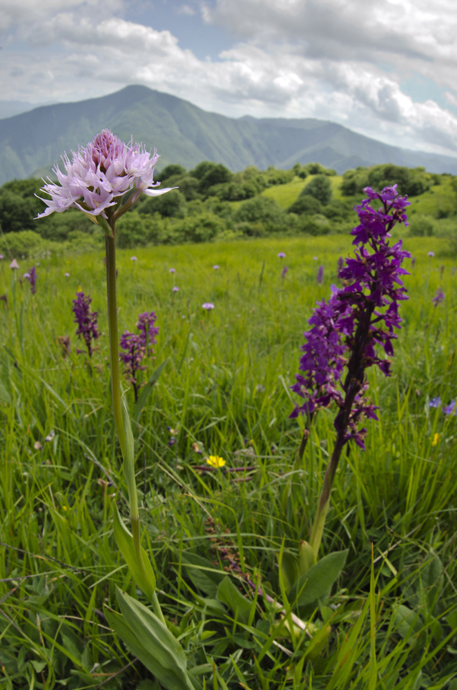 Traunsteinera globosa & Early Purple Orchid (Orchis mascula)