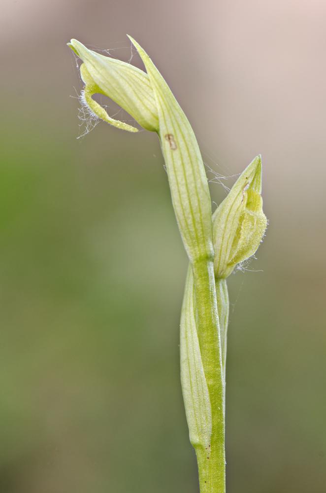 Serapias parviflora, albino