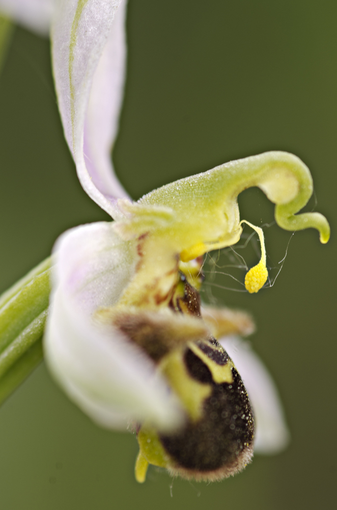 Bee Orchid (Ophrys apifera), pollinium particular