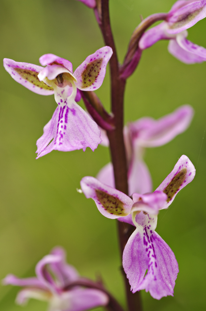 Green Spotted Orchid (Orchis patens)