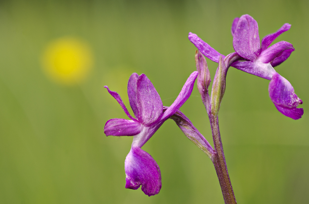 Loose-Flowered Orchid (Anacamptis laxiflora)