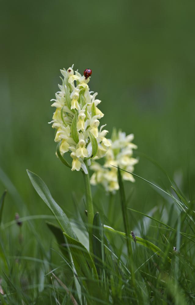 Elder-flowered Orchid (Dactylorhiza sambucina)