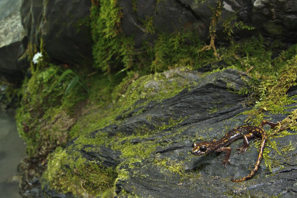 Strinati's cave salamander (Speleomantes strinatii)
