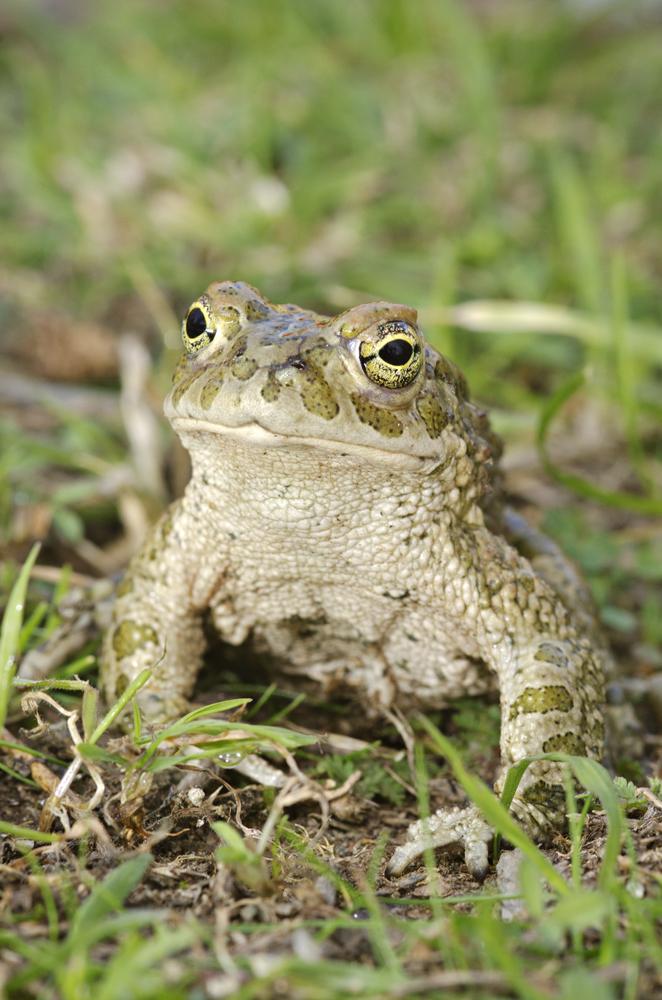 European green toad (Pseudepidalea viridis)