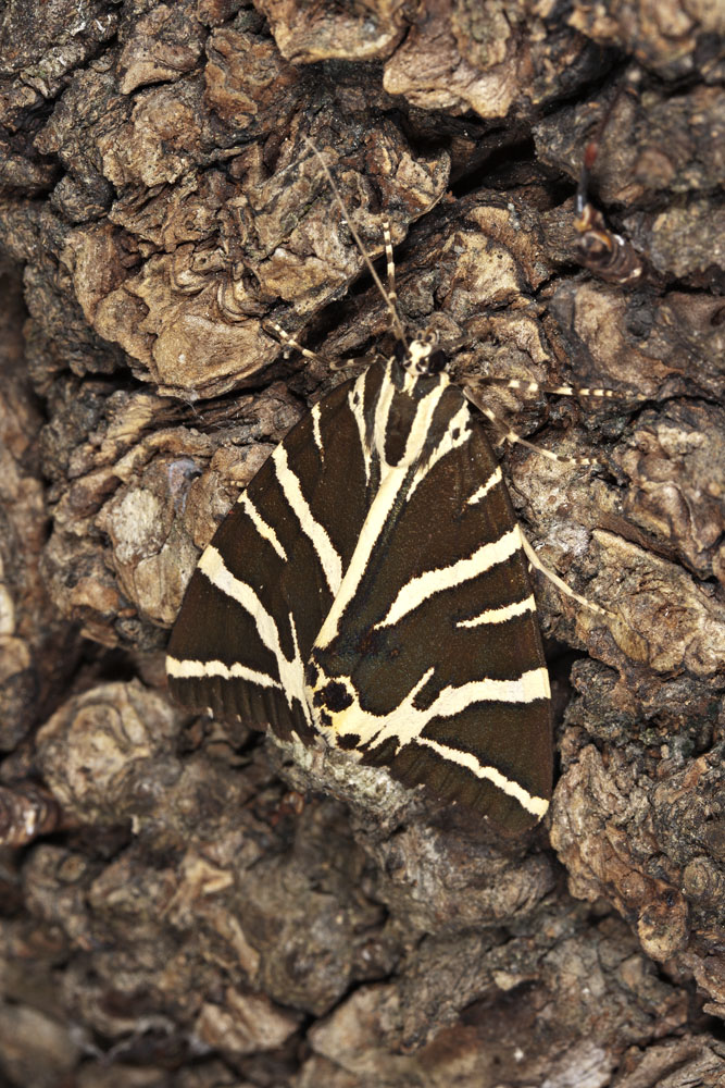 Jersey Tiger (Euplagia quadripunctaria rhodosensis)