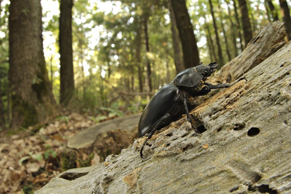 Stag Beetle (Lucanus cervus), female