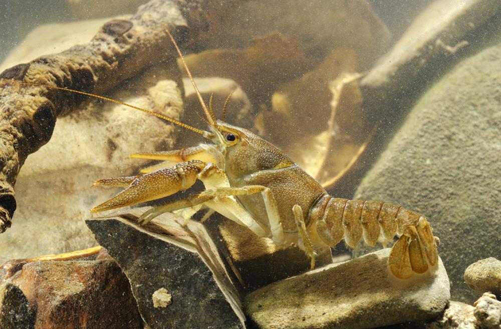 European freshwater crayfish (Austropotamobius pallipes)