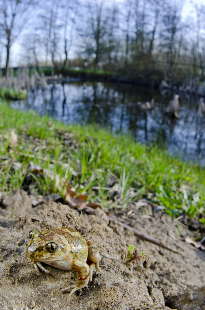 Common Spadefoot Toad (Pelobates fuscus insubricus)