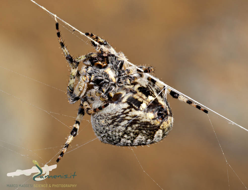 typical orb-weaver spider (Araneidae)
