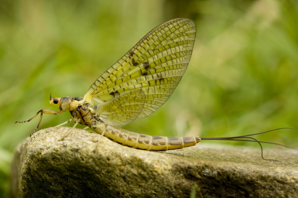 Green Drake (Ephemera danica)