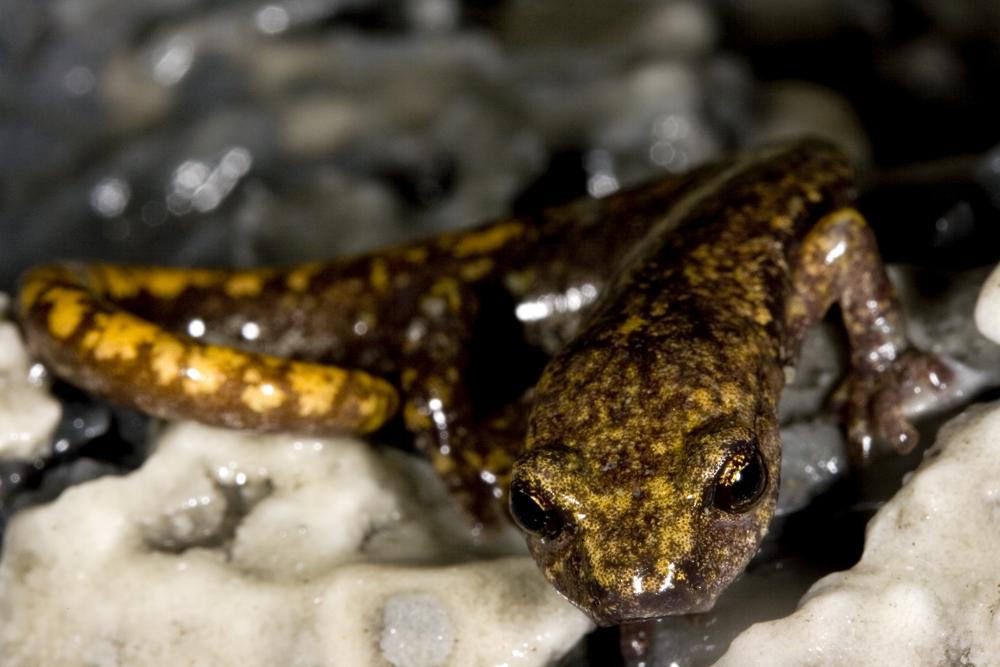 Cave salamander (Speleomantes strinatii)