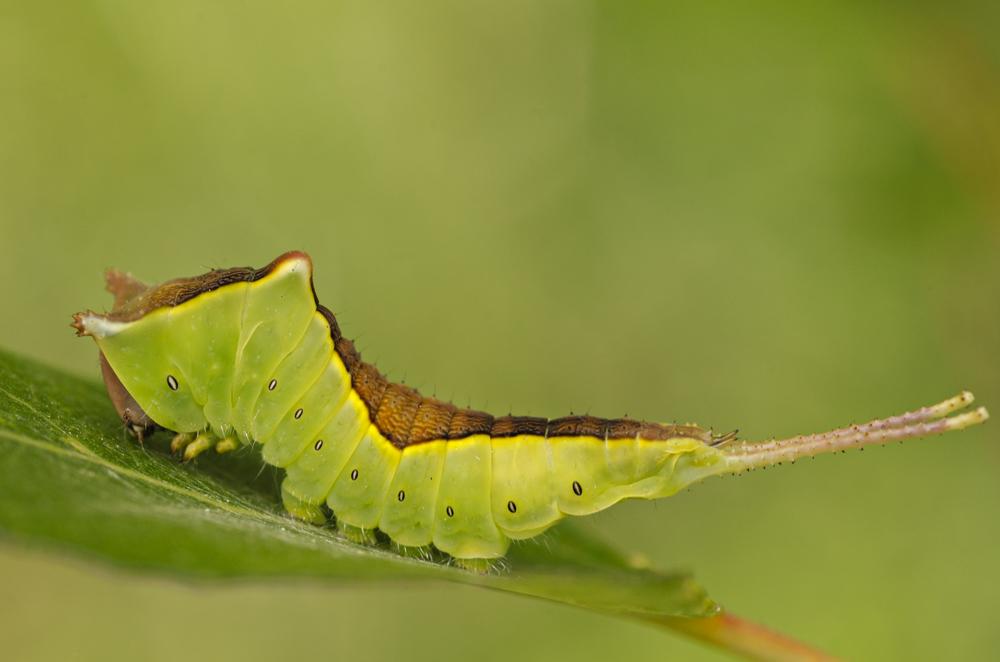 Puss Moth (Cerura vinula), beetle