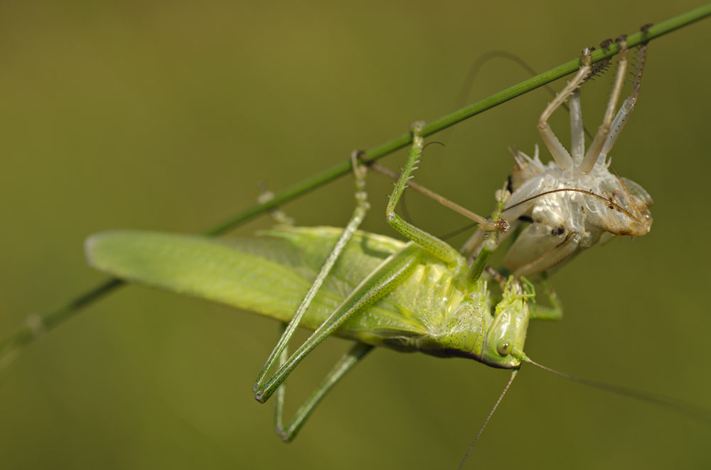 Long-horned Grasshopper (Tettigonia viridissima), eating its moult