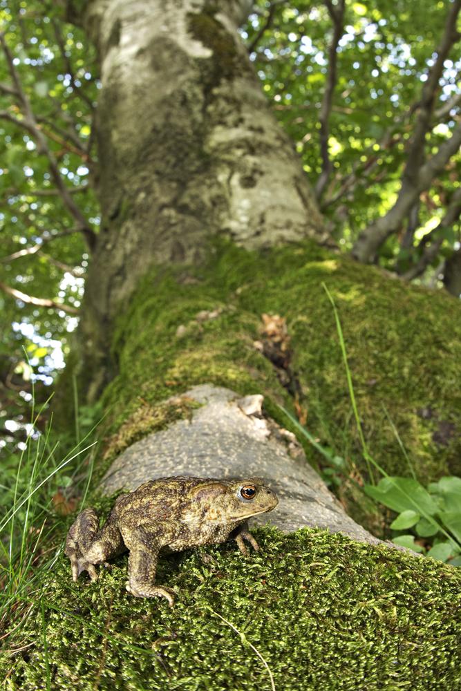 European toad (Bufo bufo)