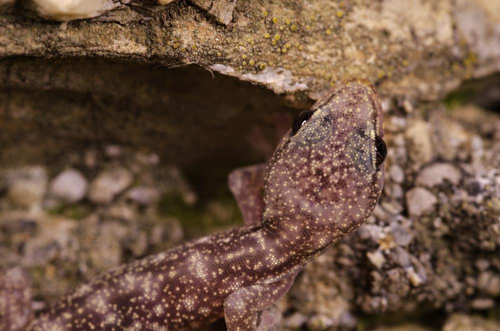 European leaf-toed gecko (Euleptes europaea), juvenile