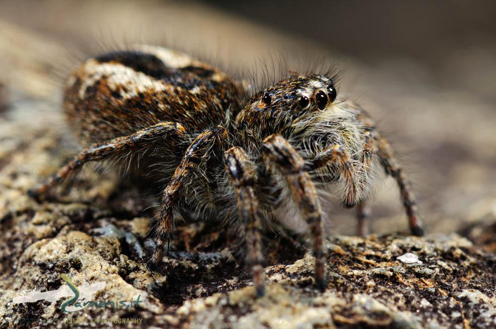 Phylaeus crysops (Salticidae)