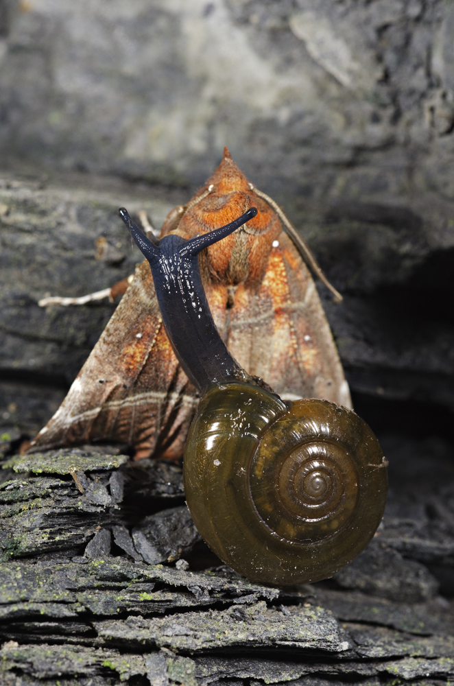 Dark-bodied Glass-snail (Oxychilus draparnaudi) preying on Herald Moth (Scoliopteryx libatrix)