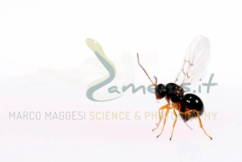 Chestnut gall wasp (Dryocosmus kuriphilus), adult