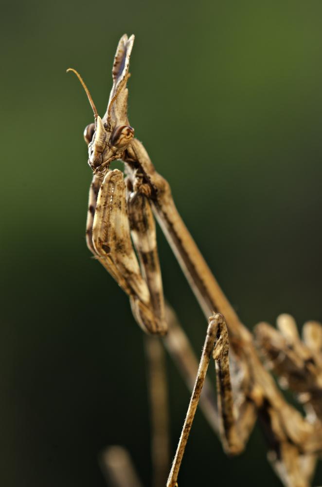 Conehead Mantis (Empusa pennata)