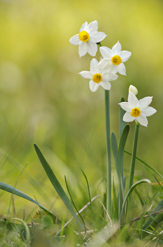 Sacred Lily (Narcissus tazetta)
