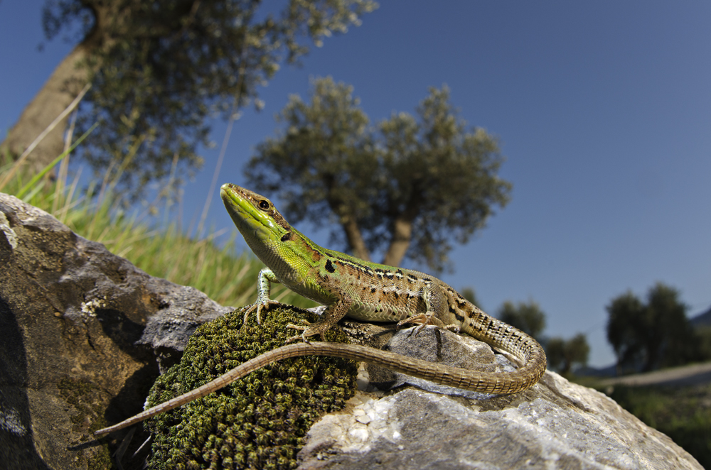 Italian Wall Lizard (Podarcis sicula)
