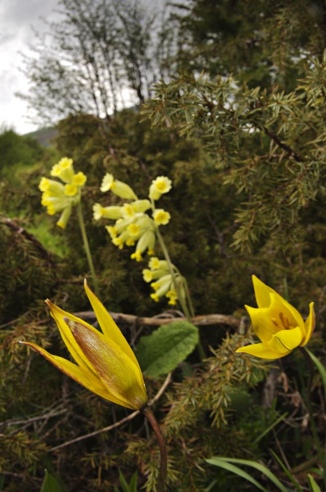 Tulipa australis, Primula veris, Juniperus communis
