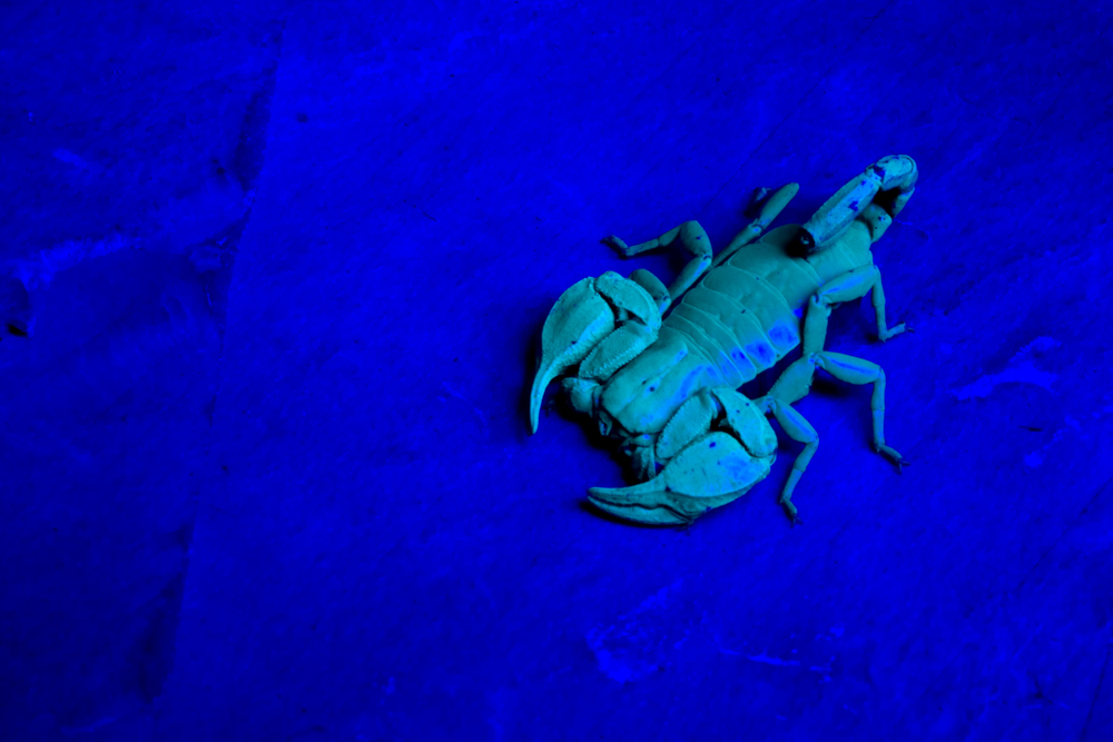 Euscorpius sp. under wood's light