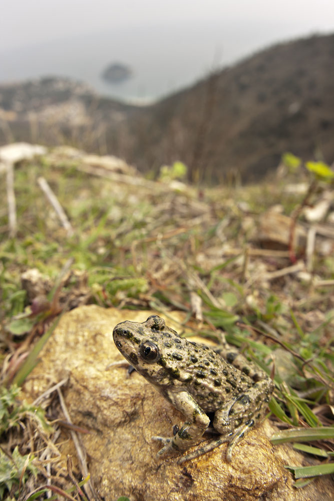 Common parsley frog (Pelodytes punctatus)