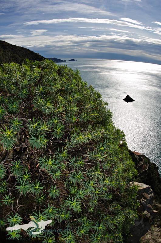 Tree Spurge (Euphorbia dendroides)