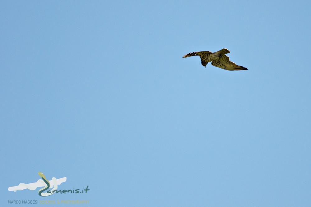 Short Toed Snake Eagle (Circaetus gallicus)