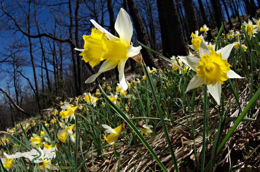 Wild daffodil (Narcissus pseudonarcissus)
