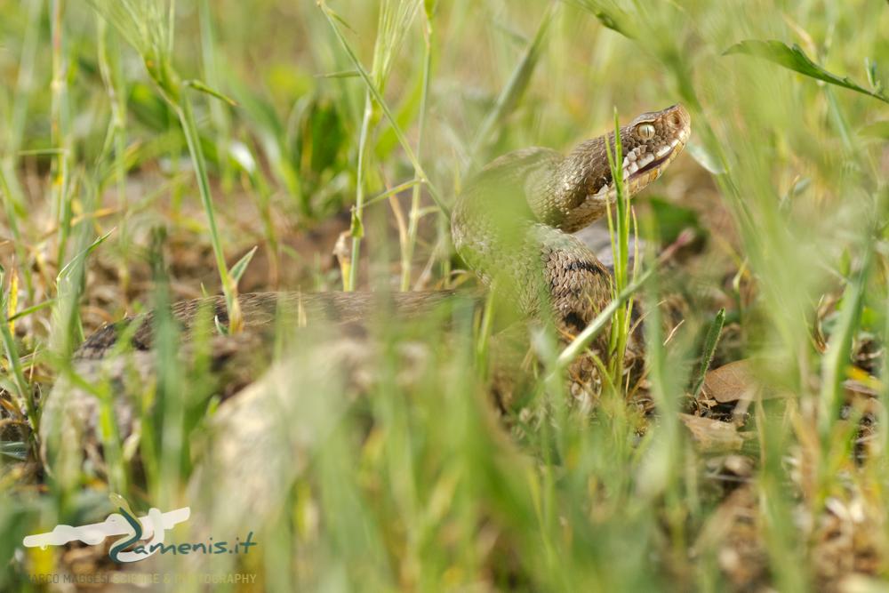 Asp viper (Vipera aspis)