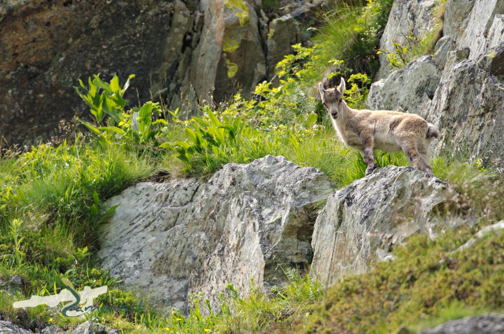Alpine ibex (Capra ibex), young