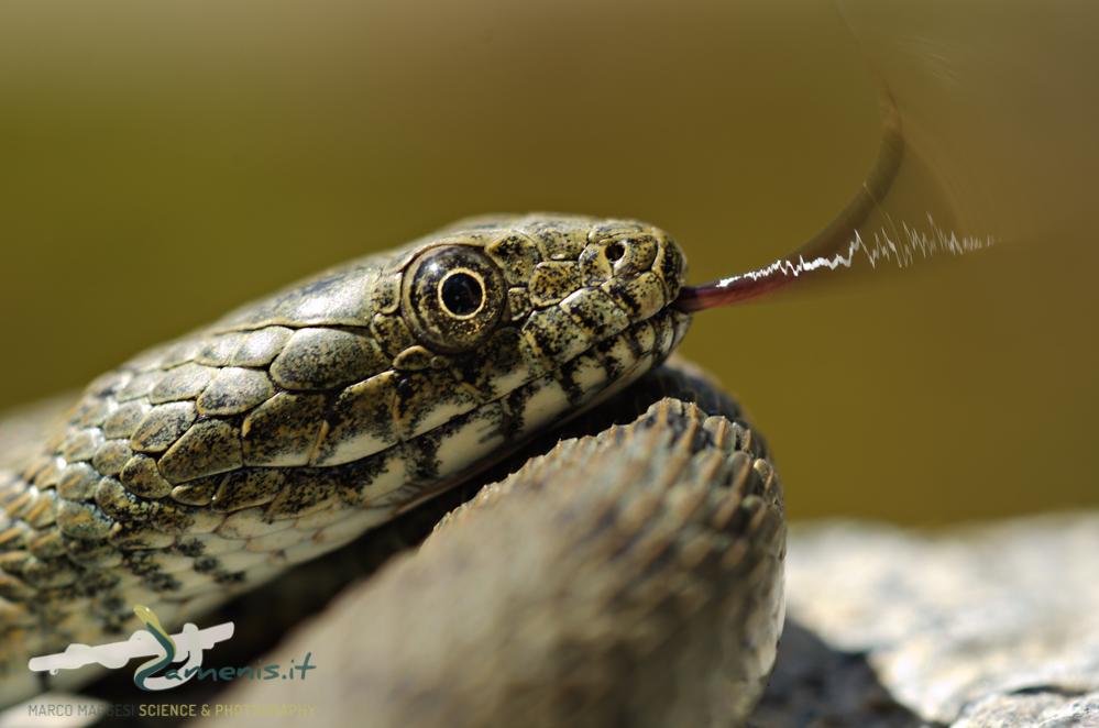Dice Snake (Natrix tessellata)