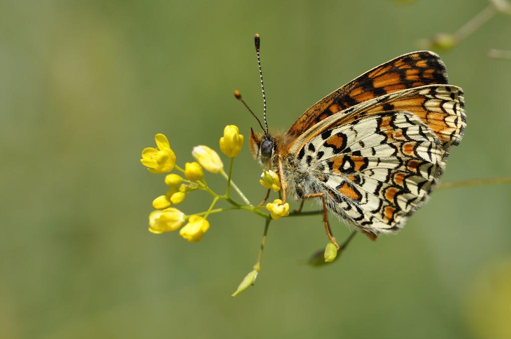 Melitaea phoebe by Yuri Massardo