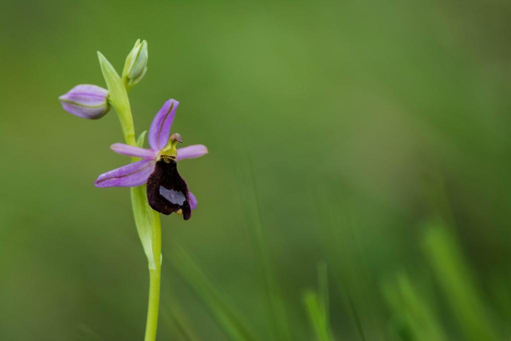 Ophrys bertolonii by Lorenzo Refrigeri